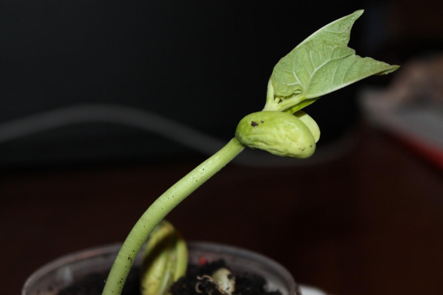 Как быстро прорастить фасоль: основные правила проращивания 15